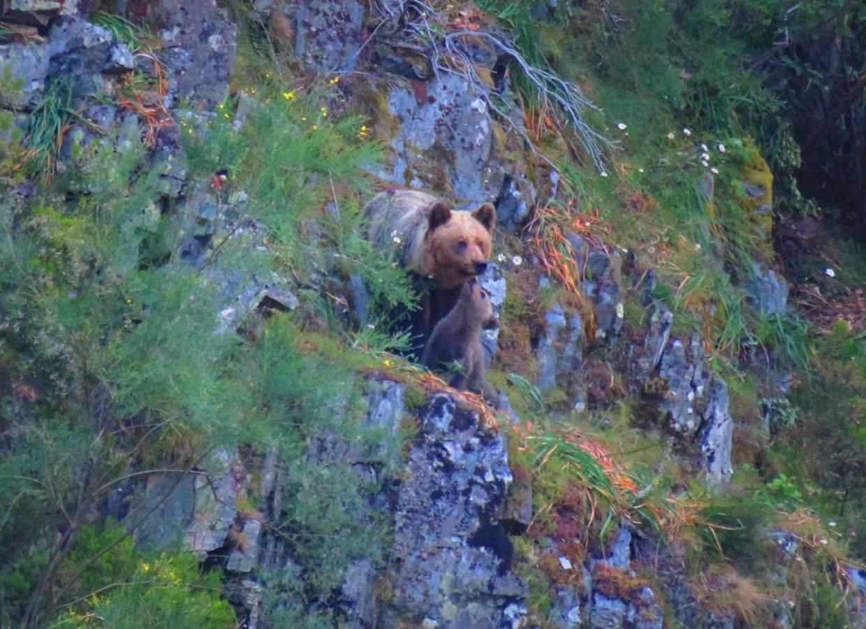 avistamiento de osos salvajes en libertad