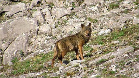 avistamiento de lobos salvajes en libertad